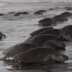 seaturtles1
